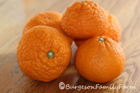 late harvest satsumas copyright