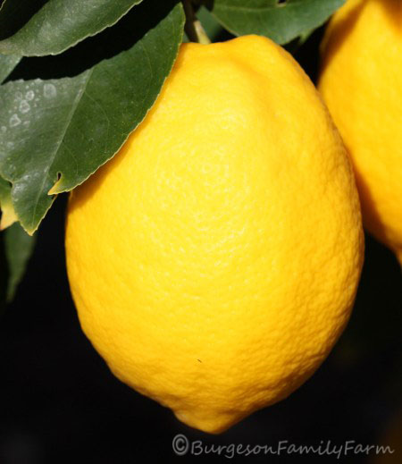 Meyer lemon copyright