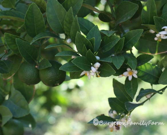 limes-with-flowers