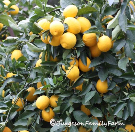 lemon tree with copyright