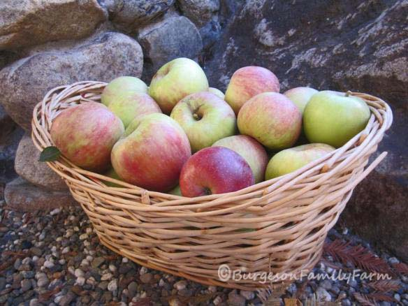 apples in basket with c