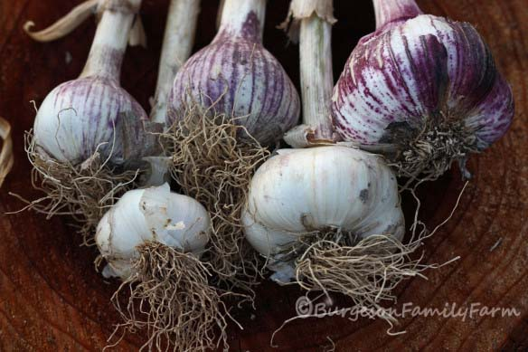 home grown garlic cr