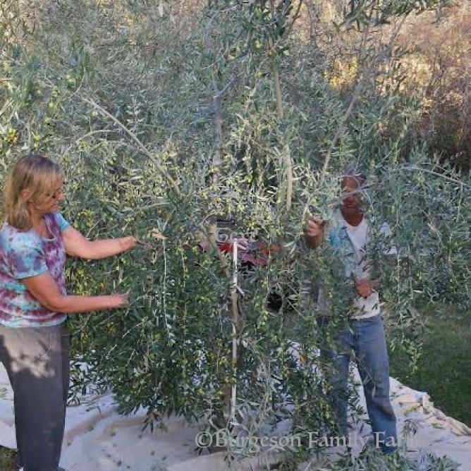 olive-harvest-w copy
