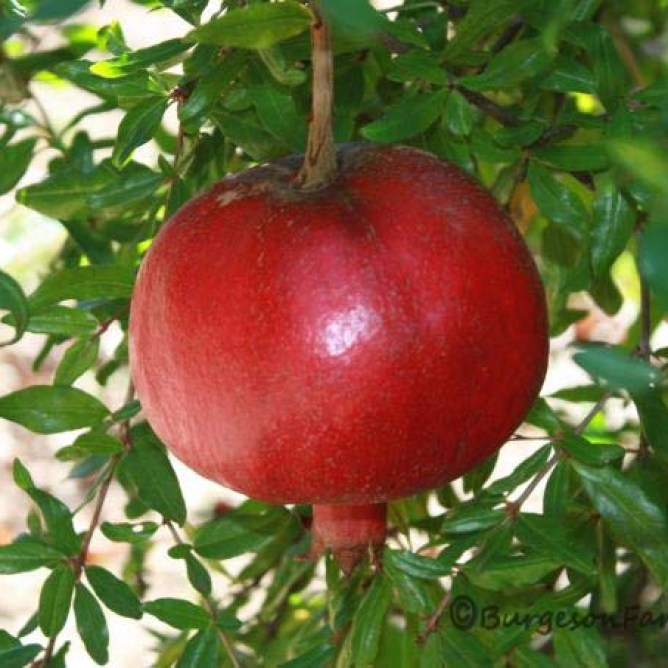 photoshopped-pomegranate-11
